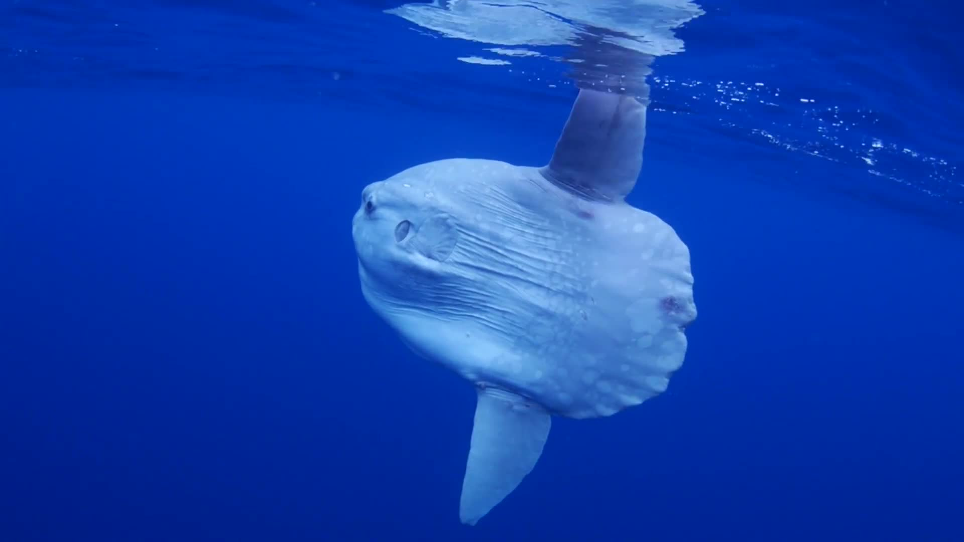 wired_absurd-creature-the-ocean-sunfish-1