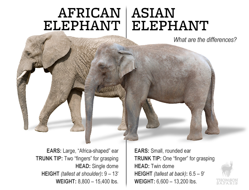 asian-african-elephants